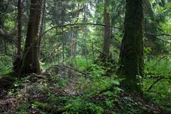 Natural alder stand of Bialowieza Forest Landscape reserve Stock Photos