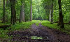 Straight ground road leading across forest - stock photo