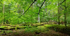 Deciduous stand of Bialowieza Forest in summer Stock Photos