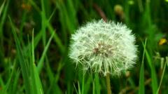 fluffy dandelion - stock footage