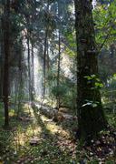 Sunbeam entering rich deciduous forest - stock photo