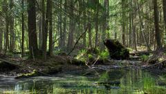 Springtime alder-bog forest - stock photo