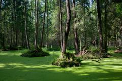 Natural stand of Bialowieza Forest with standing water and Common Duckweed - stock photo