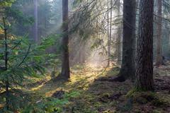 Sunbeam entering rich coniferous forest - stock photo
