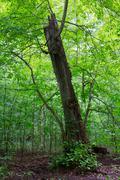 Broken linden tree still alive Stock Photos