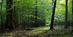 Deciduous stand of Bialowieza Forest and path - stock photo