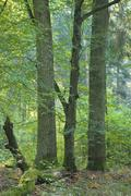Deciduous forest with old hornbeam and oaks - stock photo