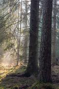 Stock Photo of Sunbeam entering rich coniferous forest
