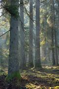 Sunbeam entering old coniferous stand - stock photo