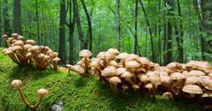 Stock Photo of Bunch of autumnal Honey Fungus