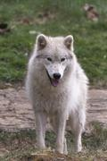 A lone Arctic Wolf in the fall season Stock Photos
