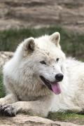 A lone Arctic Wolf in the fall season - stock photo