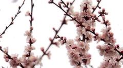 Apricot flower in garden Stock Footage