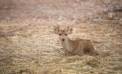 male hog deer - stock photo