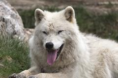 A lone Arctic Wolf Stock Photos
