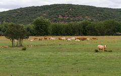 Stock Photo of Landscape with Cows - Paisaje con Vacas