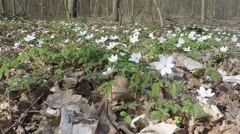 Windflower in the forest Stock Footage