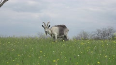 White goats grazing on green meadow at edge of farms, 4k Stock Footage