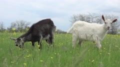 Two goats grazing on green meadow at edge of farms, 4k Stock Footage