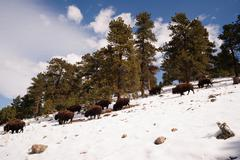North American Bison Buffalo Roam Hillside Fresh Snow Blue Sky Kuvituskuvat