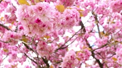 Beautiful Spring Japanese cherry tree blossom Stock Footage