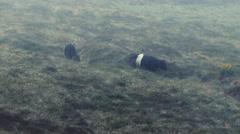 Group Of Cows In Rain Storm Stock Footage