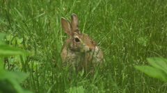 Bunny munching spring 13 - stock footage
