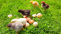 Small chickens in a green grass Stock Footage