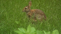 Bunny munching spring 12 Stock Footage