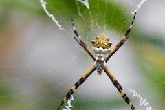 Black and Yellow Argiope spider on web Stock Photos