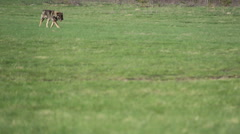 Dog runs across the field in the field Stock Footage