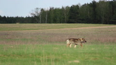 dog runs across the field in the field near the forest - stock footage