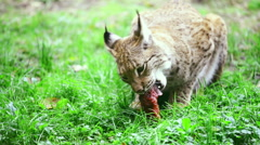 Eurasian lynx eating meat on a green grass. Stock Footage