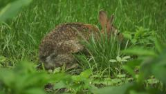Bunny munching spring 8 Stock Footage
