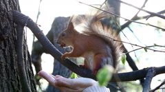 Trustful squirrel takes a delicacy from a female hand Stock Footage