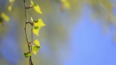 Birch branch with young green leaves Stock Footage