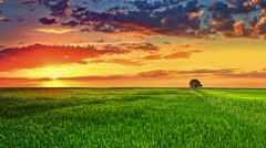 4 in 1 video! The picturesque sunset above the green wheat field, real time Stock Footage