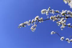 Cherry blossom and blue sky Stock Photos