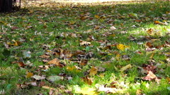 Maple leaves on the grass Stock Footage
