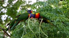 Raibow lorikeets hanging and spinning from a thread whilst eating the bit they a - stock footage