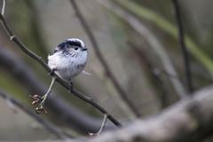 Long Tailed Tit  (Aegithalos caudatus) - stock photo