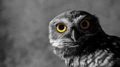 Owl looking to the camera, yellow eyes, natural bird, wildlife. Stock Photos