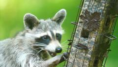 Raccoon (Procyon lotor) raiding a bird feeder Stock Footage