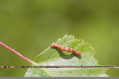 Mottled Umber (Erannis defoliaria) - stock photo