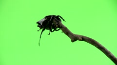 Rinosuarous beetle struggle toclimb to top then falls of over green screen Stock Footage
