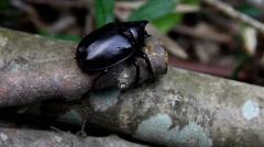 The Australian rinosuarous beetle with mites feeding on wood  Stock Footage