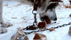 Stock Video Footage of husky dog eat frozen meat chained