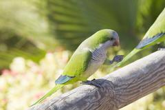Monk Parakeet  (Myiopsitta monachus) - stock photo