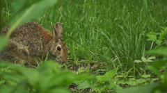 Bunny munching spring 2 Stock Footage