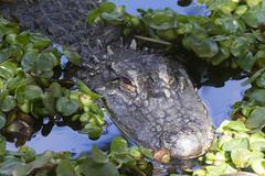 Alligator (Alligator Mississippiensis) - stock photo